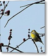 Yellow Finch In Spring Metal Print
