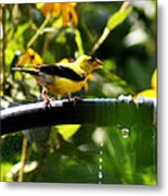 Yellow Finch With A Water Leak Metal Print