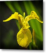 Yellow Flag Flower Outdoors Metal Print