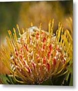 Pincushion Protea Veld Fire  Metal Print