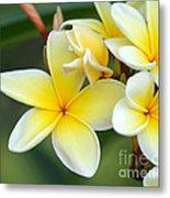 Yellow Frangipani Flowers Metal Print