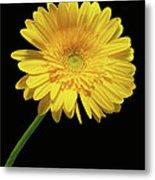 Yellow Gerber Daisy Metal Print