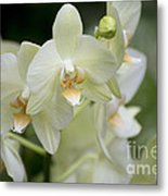 Yellow-green Phalaenopsis 8837 Metal Print