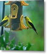 Yellow Grosbeak Duo Metal Print