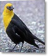 4m09157-02-yellow Headed Blackbird Metal Print