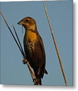 Yellow-headed Blackbird With Dragonfly Metal Print