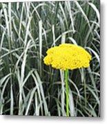 Yellow Immortelle Flower Metal Print