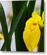 Yellow Iris Metal Print