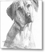 Yellow Lab Dog Pencil Portrait Metal Print