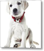 Yellow Lab Puppy Metal Print