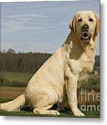 Yellow Labrador Dog Metal Print