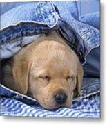 Yellow Labrador Puppy Asleep In Jeans Metal Print