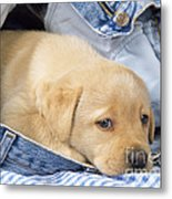 Yellow Labrador Puppy In Jeans Metal Print