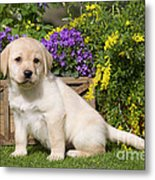 Yellow Labrador Puppy Metal Print