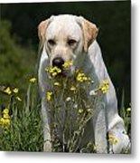 Yellow Labrador Retriever Dog Smelling Yellow Flowers  Metal Print