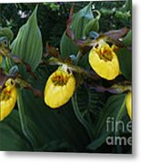 Yellow Lady Slippers On Forest Floor Metal Print