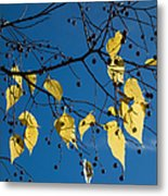 Yellow Leaves And Blue Sky In Autumn Metal Print
