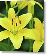 Yellow Lilly 8107 Metal Print