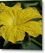 Yellow Luffa Blossom Metal Print