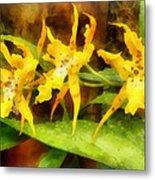 Yellow Miltassia Orchids Metal Print