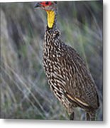 Yellow-necked Francolin... Metal Print