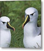 Yellow-nosed Albatross Pair Gough Island Metal Print