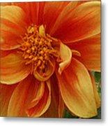 Yellow Orange Dahlia Metal Print