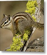 Yellow Pine Chipmunk Metal Print