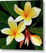 Yellow Plumeria Metal Print by Ben and Raisa Gertsberg