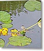 Yellow Pond Lilies On Lake Yellowhead Along Yellowhead Highway-b Metal Print