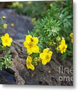 Yellow Potentilla Shrub Metal Print
