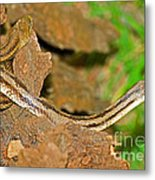 Yellow Rat Snakes Metal Print