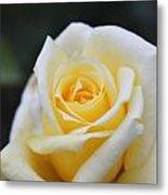 Yellow Rose - 1 Metal Print