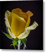 Yellow Rose 1 Metal Print