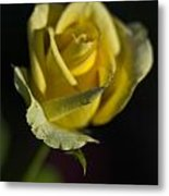 Yellow Rose 12 Metal Print