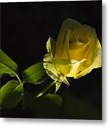 Yellow Rose 15 Metal Print