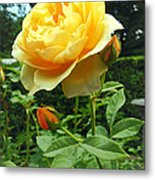 Yellow Rose And Buds Metal Print