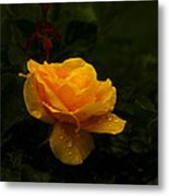 Yellow Rose Dapples With Waterdfrops Metal Print