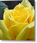 Yellow Rose Ll Metal Print