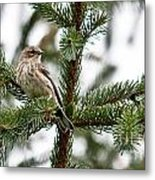 Yellow Rumped Evergreen Metal Print