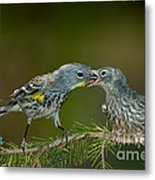Yellow-rumped Warbler Feeding Young Metal Print