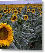 Yellow Sunflower Field Metal Print by Dave Dilli