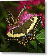 Yellow Swallowtail Butterflies  Metal Print
