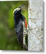 Yellow-tufted Woodpecker Metal Print
