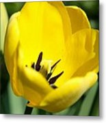 Yellow Tulip Cup Metal Print