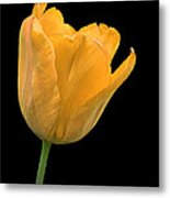 Yellow Tulip Open On Black Metal Print