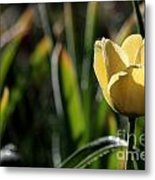 Yellow Tulip With Dew Metal Print