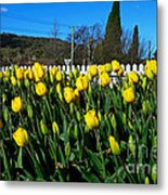 Yellow Tulips Before White Picket Fence Metal Print