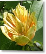 Yellow Tuliptree Flower Metal Print