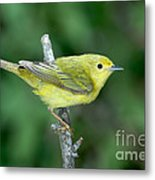 Yellow Warbler Dendroica Petechia Female Metal Print